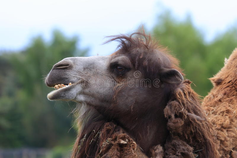 Head of camel stock photos
