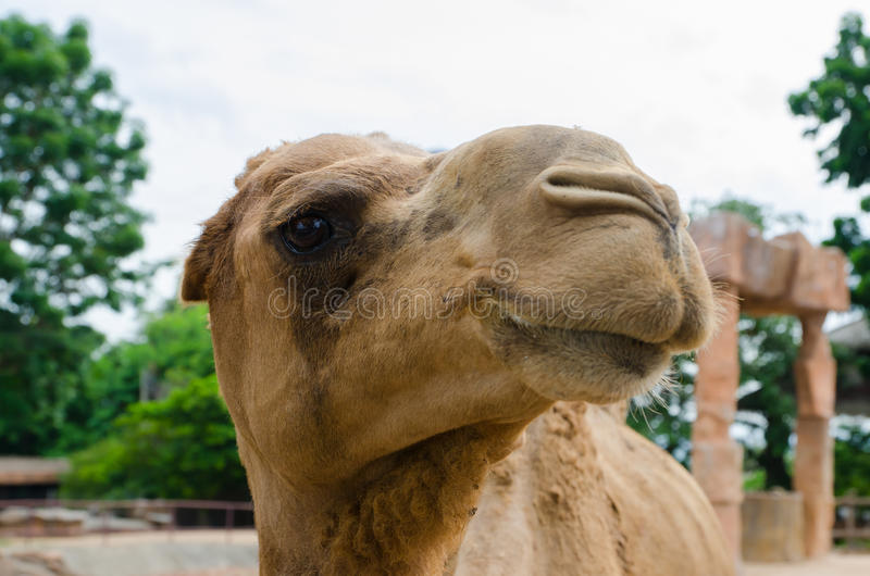 Download Funny camel portrait. stock image. Image of northern - 41985231