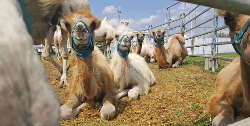 Funny camels lie on the grass in nature. Funny circus camels lie on the grass outdoor beyond the fence stock photo