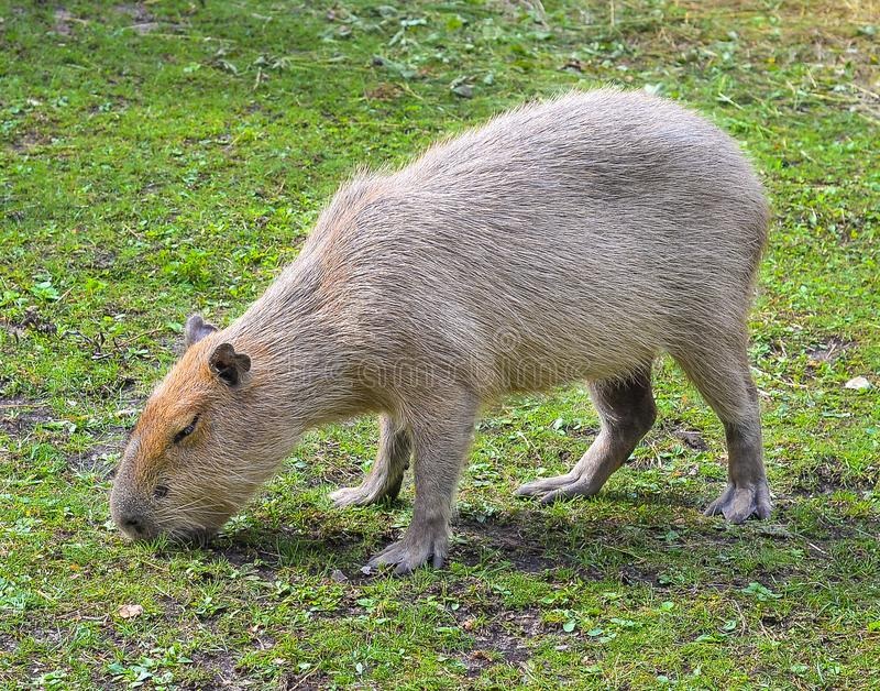 Funny capybara eats grass in the enclosure at the zoo. The capybara is the largest living rodent in the world. royalty free stock photo