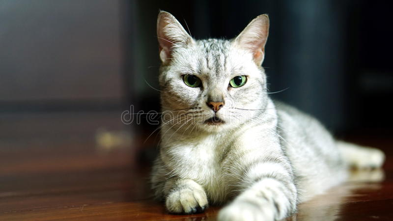 Funny Cat. American Short Hair Cat. The classic tabby cat stock image