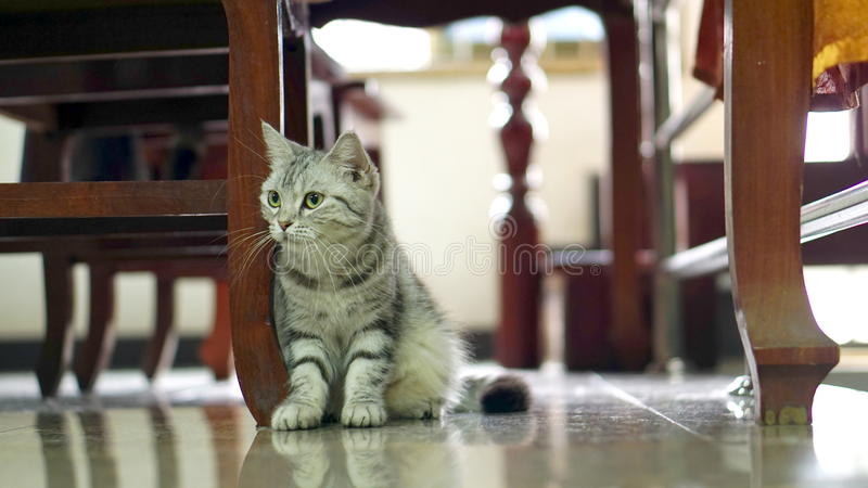 Funny Cat. American Short Hair Cat. The classic tabby cat royalty free stock photography