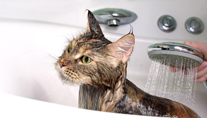 Funny Cat bath. Cat bath. Wet cat. Girl washing cat stock images