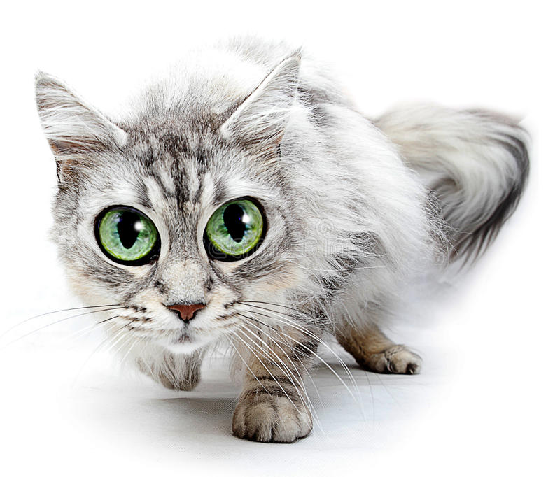 Funny cat with big eyes. On white background stock image