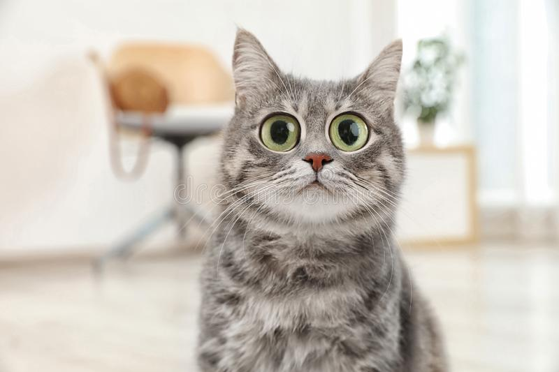 Funny cat with big eyes at home. royalty free stock images