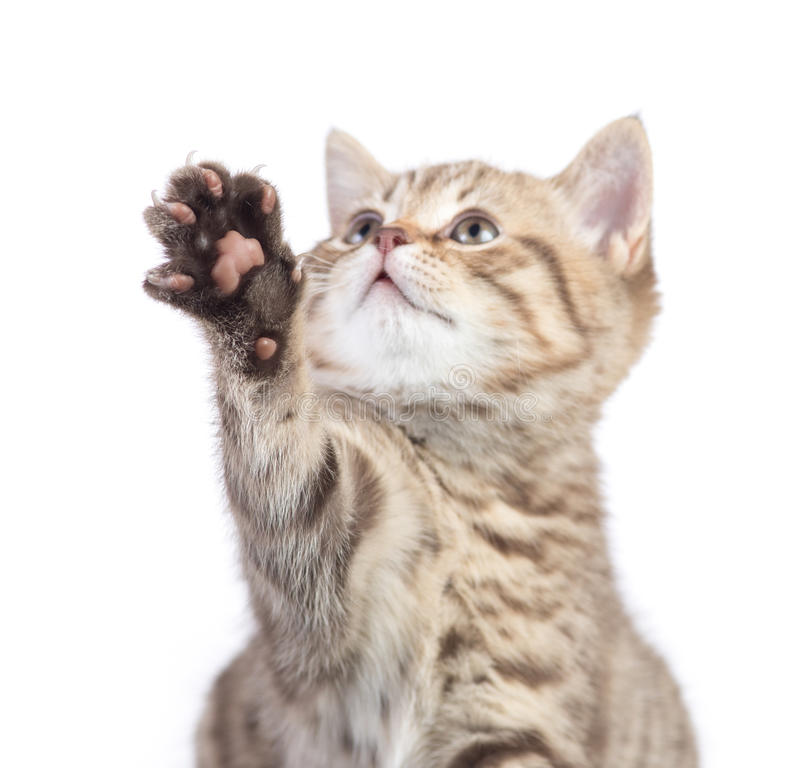 Funny Cat With Focus On Paw Isolated Stock Photo - Image ...