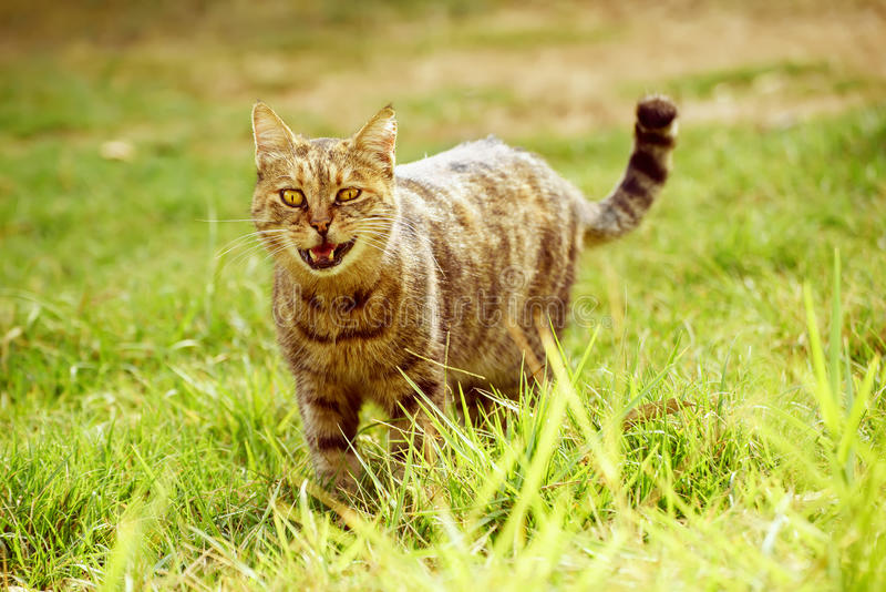 Funny cat on grass. Funny tabby domestic cat walking on the green summer grass and meowing. He has bandit smile becouse of open mouth stock images