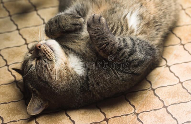 Funny cat lying. Funny tubby cat lying on it's back on the floor royalty free stock photography