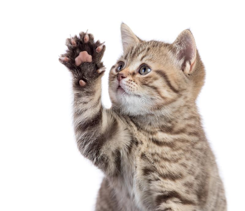 Funny cat portrait raising paw isolated royalty free stock images