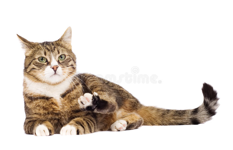 Funny cat raising paw. Isolated on white. Cat raising paw. Isolated on white royalty free stock photo
