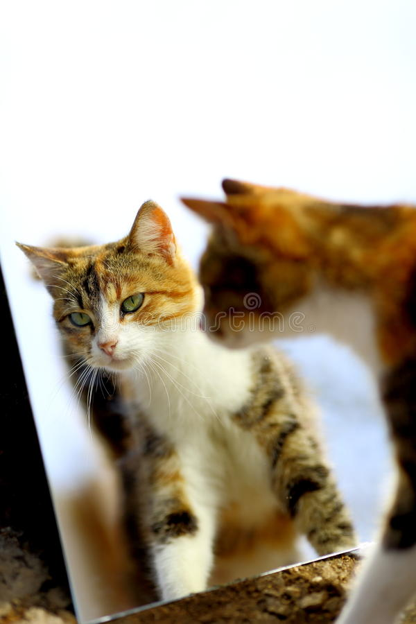 Funny cat reflection in the mirror. Funny cat red reflection in the mirror royalty free stock image