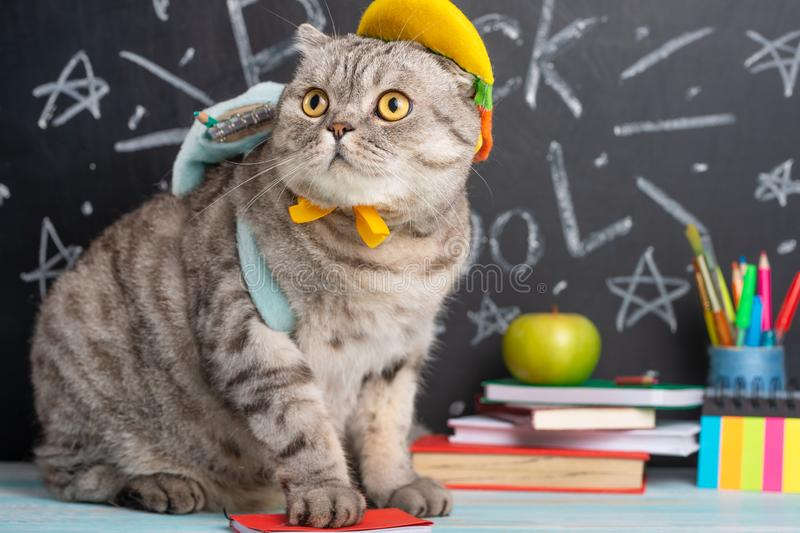 Funny cat schoolboy on the background of the board with school supplies. Back to school, college, university. Learning and mind stock image