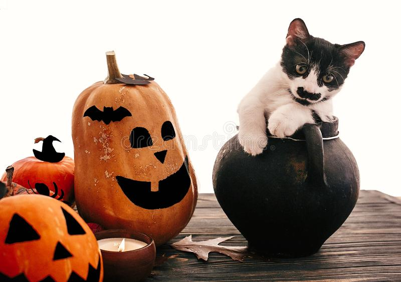 Funny cat sitting in black witch cauldron with jack o lantern pumpkins, bats, spider and burning candle on dark wood. Happy. Halloween. Trick or treat stock image