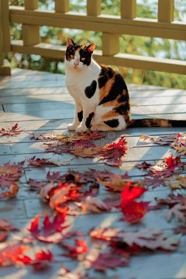 Funny cat on the terrace sitting on red maple leaves on gray wooden background. Selective focus. Blur effect stock image