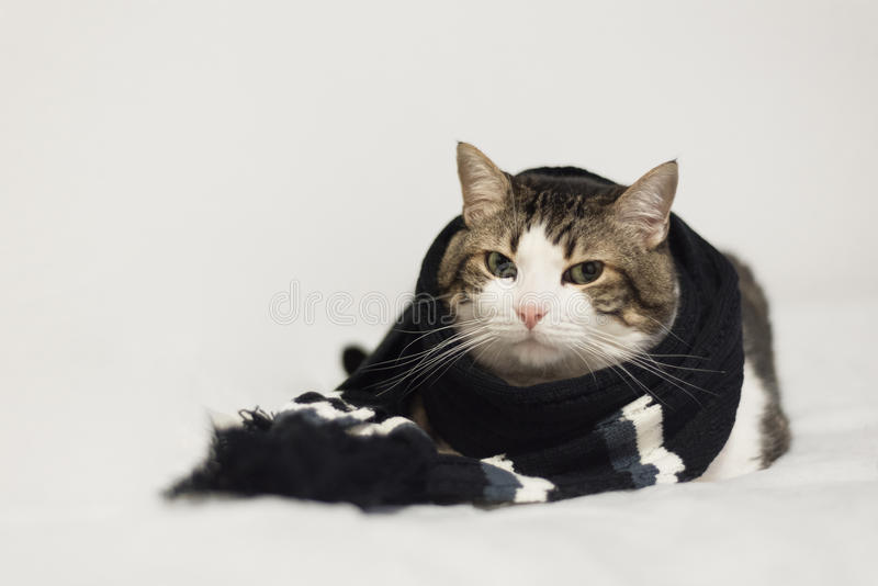 Funny cat wearing a warm scarf. Lying on a blanket. Winter seas. On concept stock photo