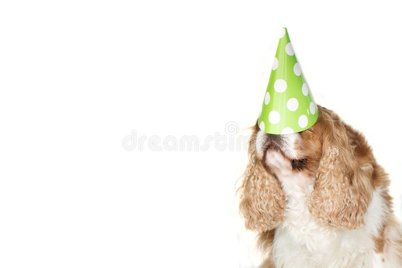 FUNNY CAVALIER DOG CELEBRATING A BIRTHDAY, CARNIVAL  OR NEW YEAR WITH A PARTY HAT ON HEAD. FUNNY CAVALIER DOG CELEBRATING A BIRTHDAY, CARNIVAL OR NEW YEAR WITH A stock images