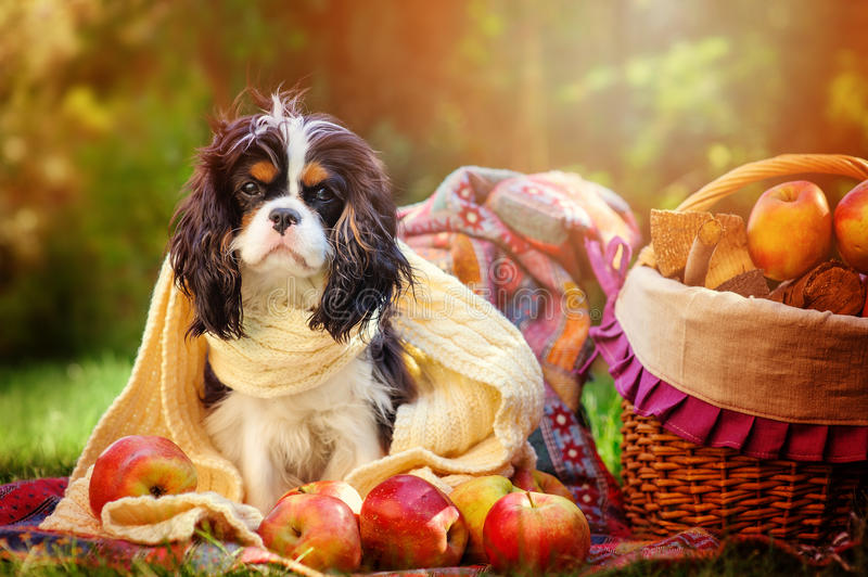 Funny cavalier king charles spaniel dog sitting in white knitted scarf with apples in autumn garden. Near basket royalty free stock images