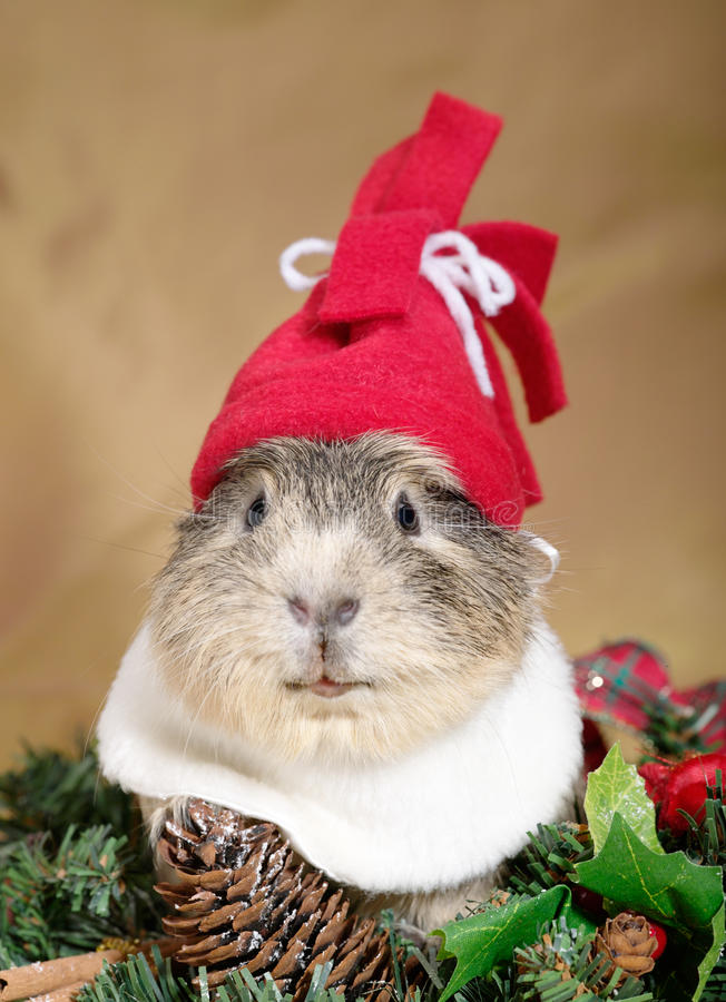 Free Funny Cavia Royalty Free Stock Images - 11709919