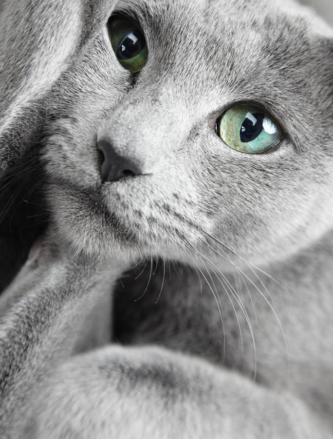 Funny cay. Portrait of funny Russian blue cat with green eyes stock images