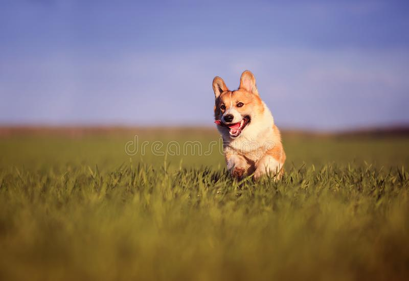 Funny cheerful pet puppy dog Corgi runs through the green Sunny clear meadow in the village in spring royalty free stock photos