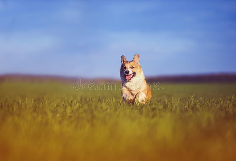 Funny cheerful puppy dog Corgi runs through the green Sunny clear meadow in the village in spring. Funny cheerful pet puppy dog Corgi runs through the green stock photos