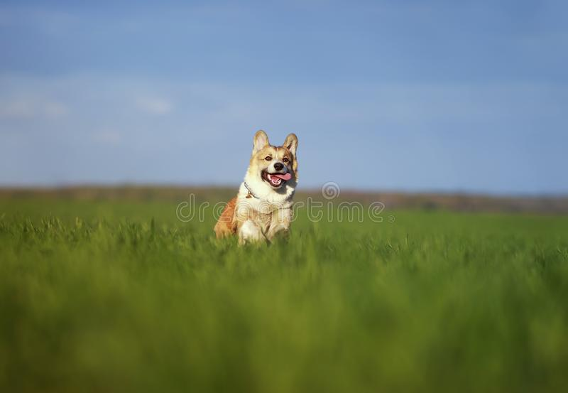 Funny cheerful pet red dog puppy Corgi runs through the green Sunny clear meadow in the village in the spring stock photo