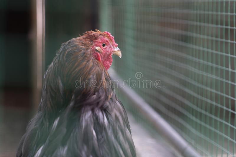 Funny chicken looking outside from behind green plastic fence stock photo