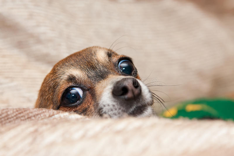 Funny Chihuahua. A cute and funny Chihuahua with big eyes peeks over a cushion stock images
