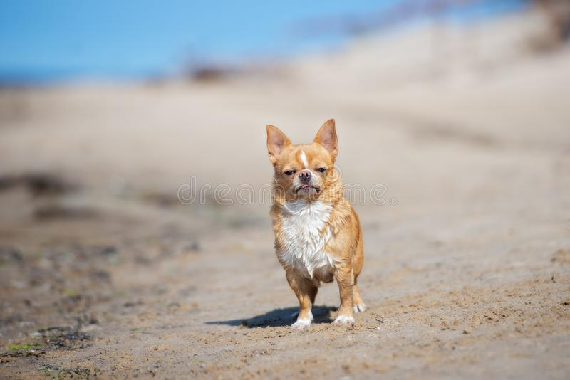Funny chihuahua dog on the beach. Smooth haired chihuahua dog on the beach stock photo