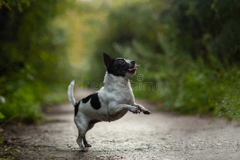 Funny chihuahua dog funny jumping in the park. stock image