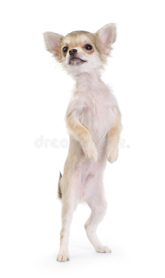 Funny chihuahua puppy standing up isolated stock photography