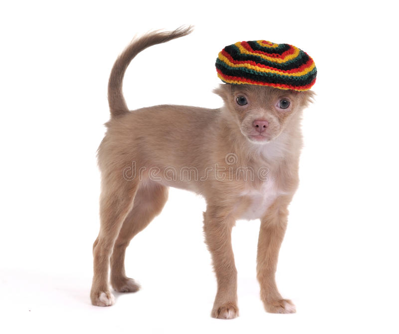 Funny chihuahua with rastafarian hat isolated stock image
