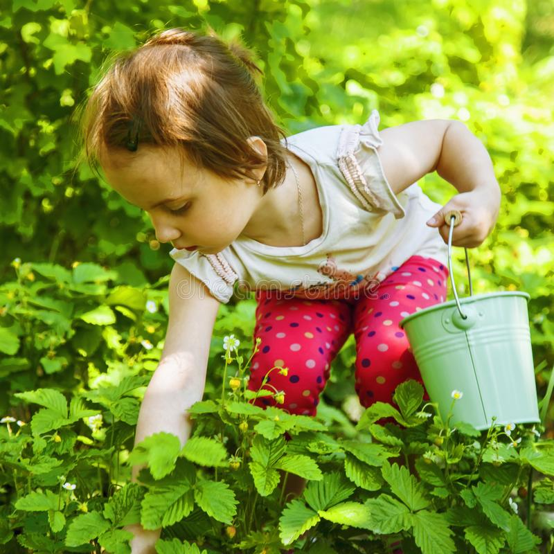 Funny child girl picking and eating strawberries on a plantation. Agriculture, health, bio food concept.  stock photo