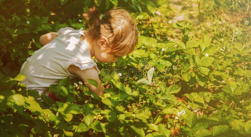 Funny child girl picking strawberry outdoors. Kids pick fresh fruit on organic strawberry farm. Agriculture, health, bio food royalty free stock photo