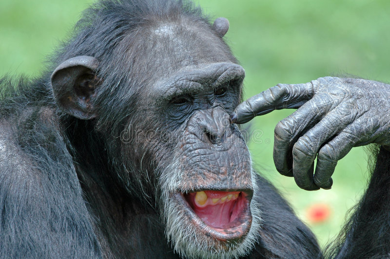 Funny Chimp. royalty free stock photography