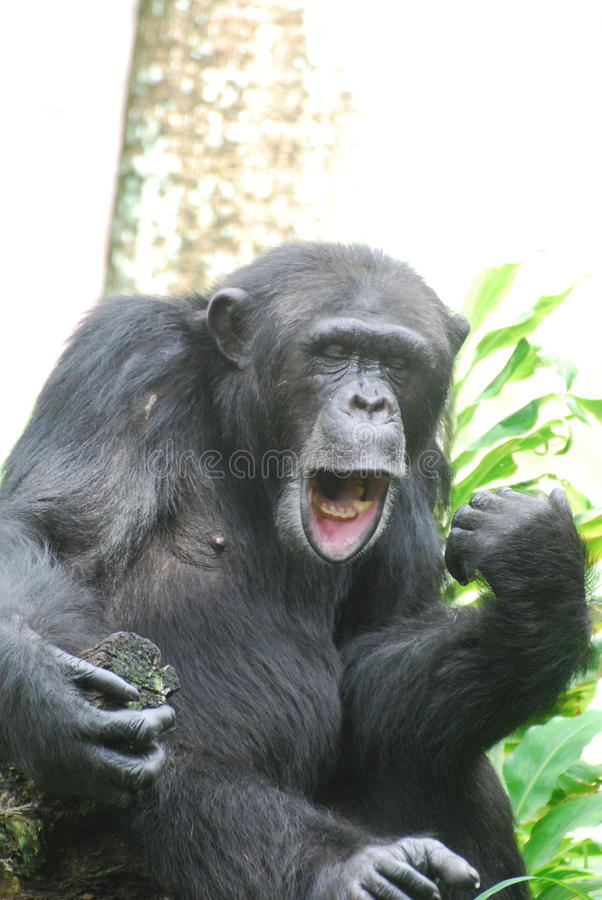 funny chimp making faces with his mouth and lips stock image image