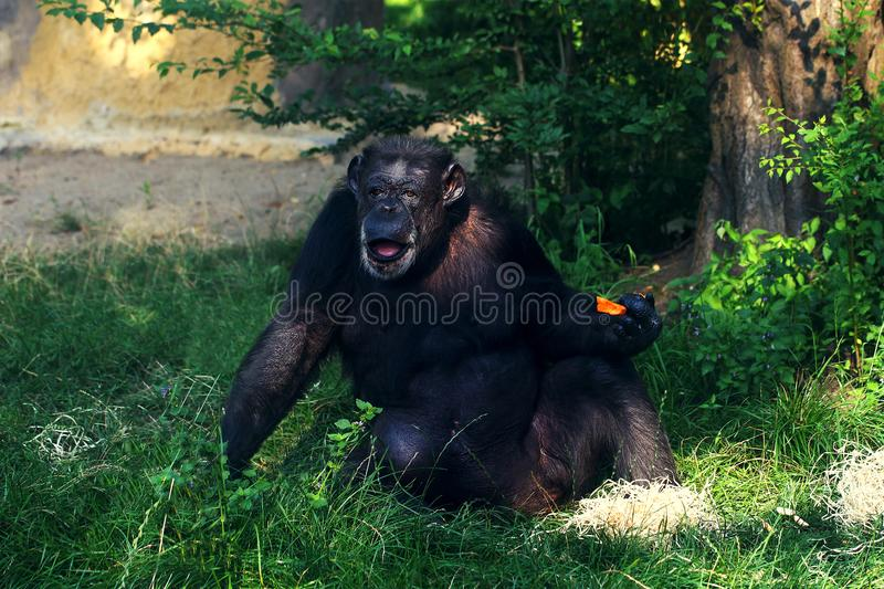 Funny chimpanzee monkey sitting on the ground. Eating carrot royalty free stock photography