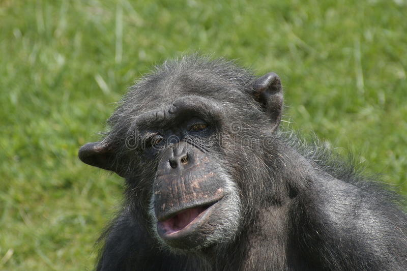 Funny chimpanzee portrait. Old chimpanzee with a funny face stock images