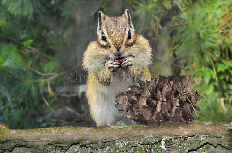 Funny chipmunk eating cedar nuts from pine cone on tree trunk stock photo