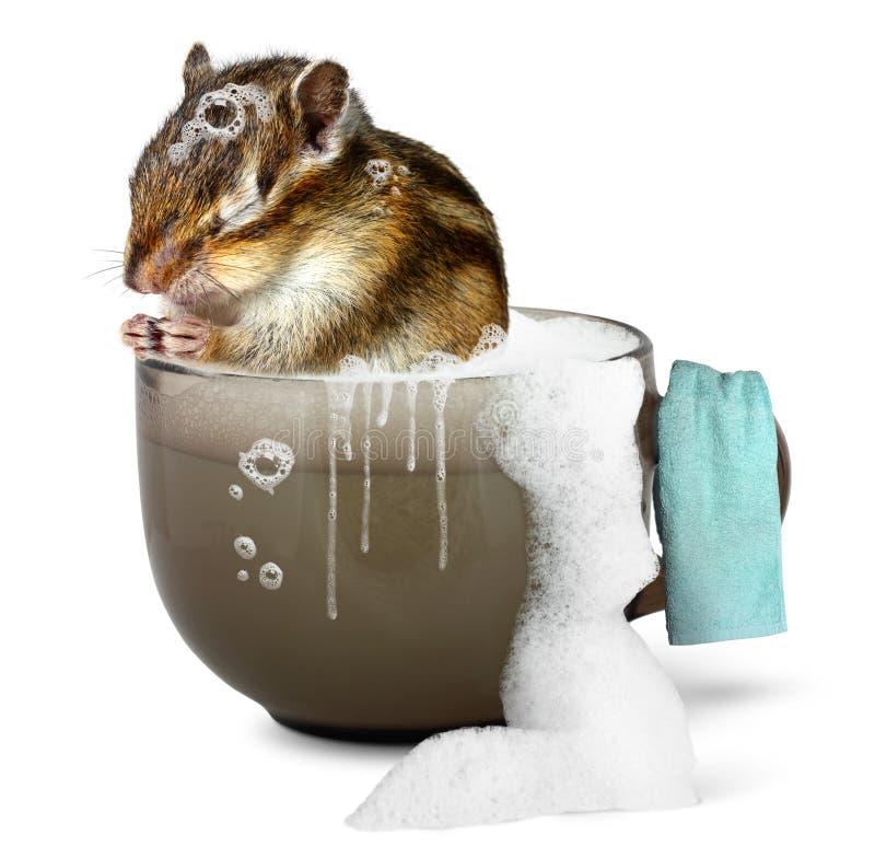 Funny chipmunk taking a bath stock image