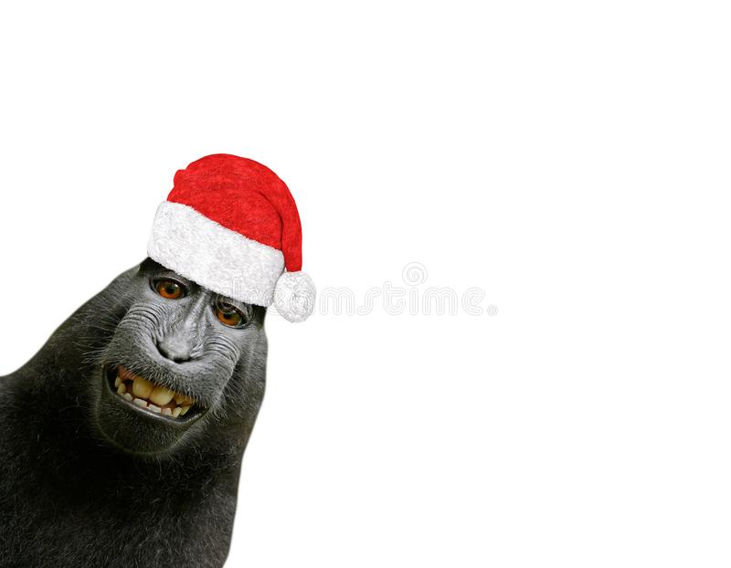 Funny christmas chimpanzee monkey smiling and wearing a santa claus hat isolated on a white background. A funny christmas chimpanzee monkey smiling and wearing a stock images