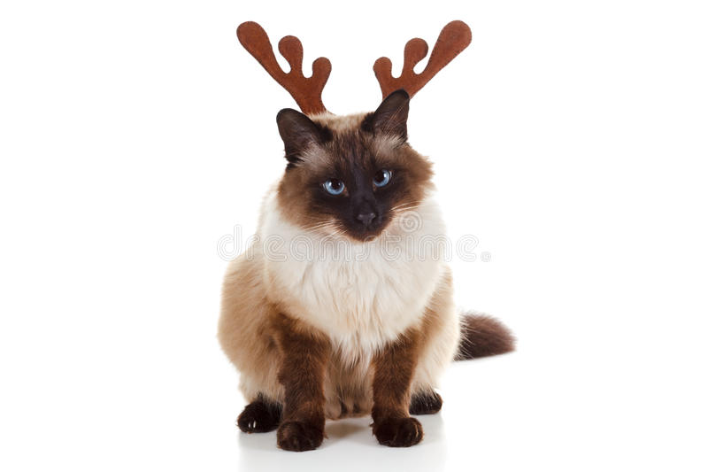 Funny Christmas Rudolph reindeer pet cat. Humorous concept. on white background royalty free stock image