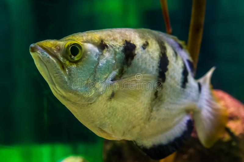 Funny closeup of the face of a banded archer fish, Popular aquarium pet in aquaculture, tropical animal specie from the Indo-. A funny closeup of the face of a stock images
