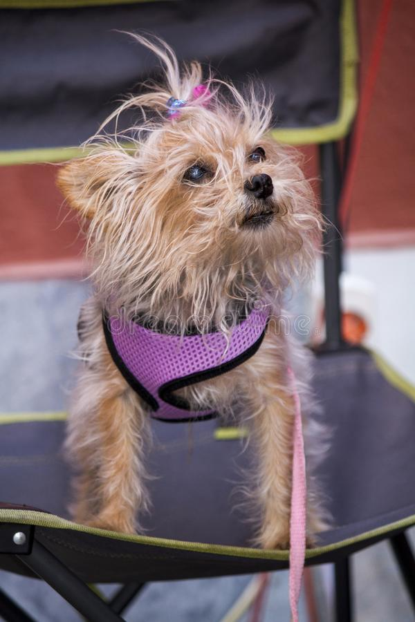 Funny clothed looking small dog. Close view of a funny clothed looking small dog royalty free stock photo