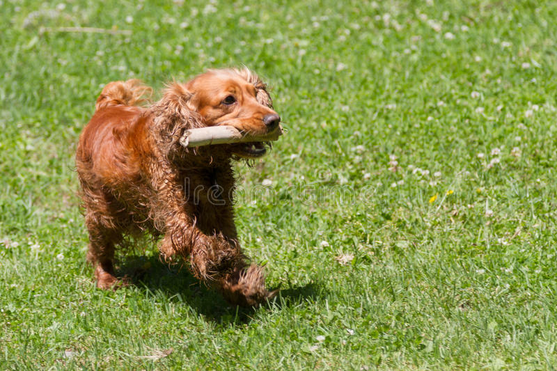 Funny cocker spaniel with a stick in his teeth royalty free stock photography