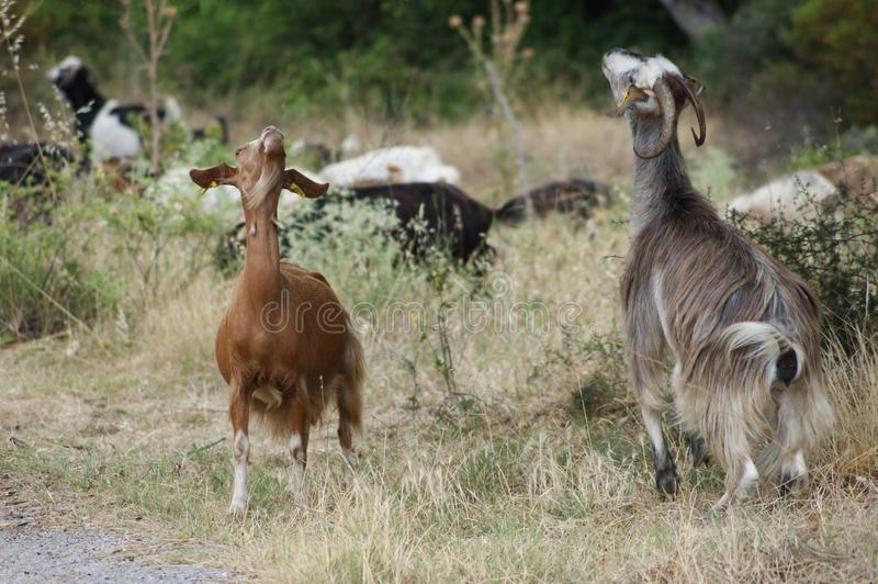 Funny cocky goats in greece. SONY ANIMAL FARM GOATS SUMMER EATS royalty free stock photography