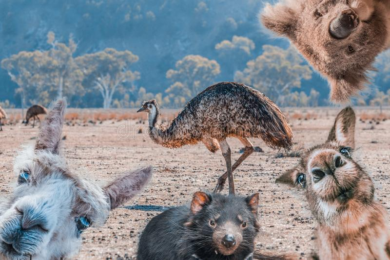 Funny collage of animals living in Australia. royalty free stock photography