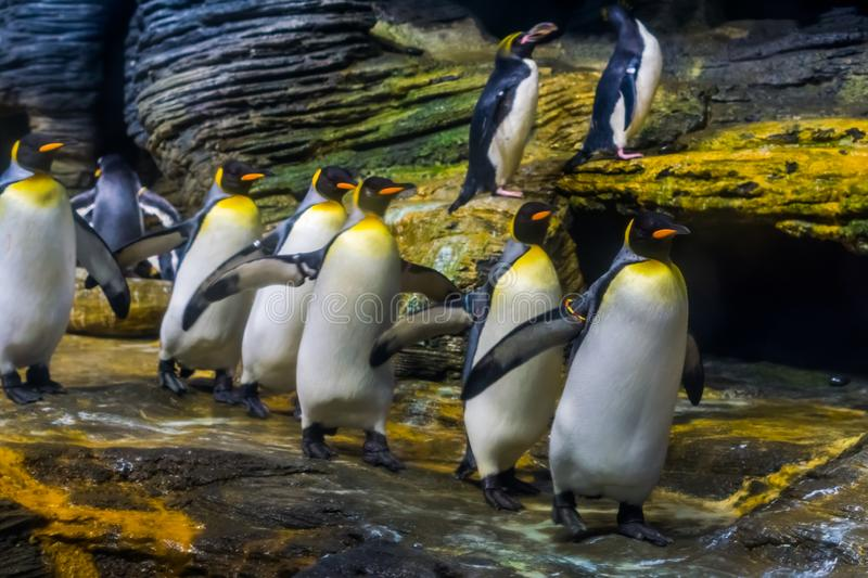 Funny colony of king penguins follow the leader, social bird behavior, popular zoo animals from the antarctic. A funny colony of king penguins follow the leader royalty free stock photos