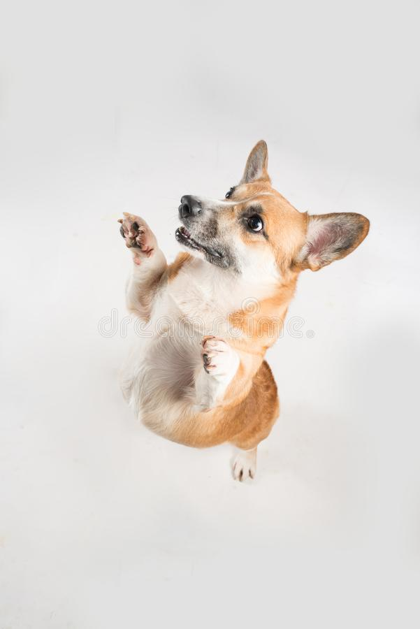 Funny corgie dog standing up on his rear legs on the white background in studio.  stock photos