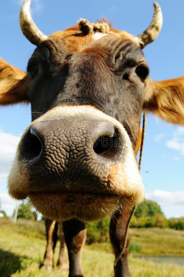 Funny cow. On a lawn 12MP stock photography
